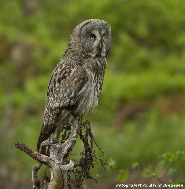 Fuglekjennskap-Samling3-Arvid-Bredesen-Lappugle